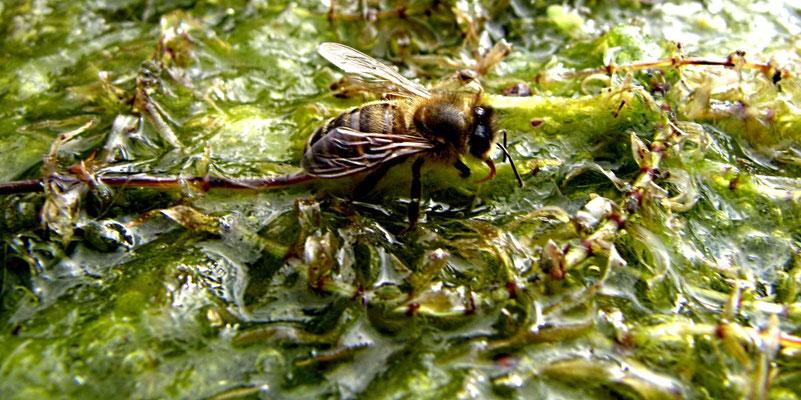 L'abeille coule