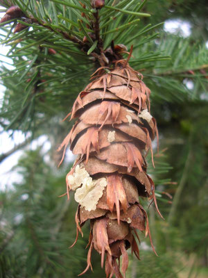 DOUGLASIE (Pseudotsuga menziesii) - Zapfen mit Harztropfen am Zweig.