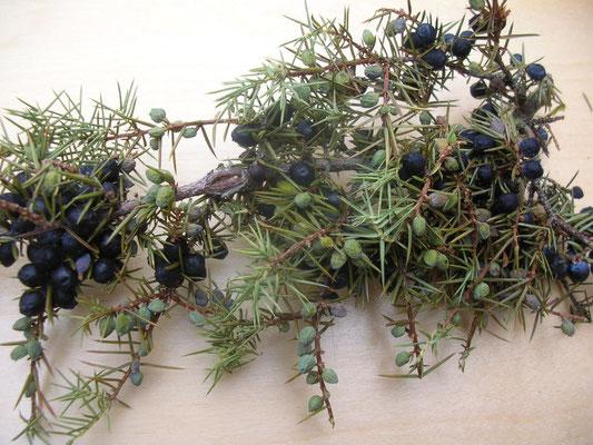 Ganzer getrockneter Zweig mit Blättern bzw. Nadeln und Früchten.