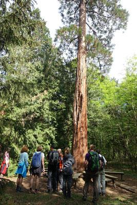 Göttweiger Mammutbäume & Wachauer Marillenweg