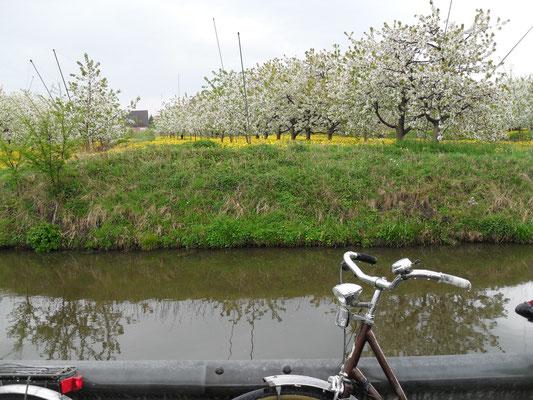 Blühende Apfelbäume in Jork.
