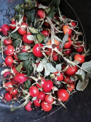 Hagebutten von der Apfelrose