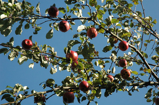 Reife Äpfel vor blauem Himmel :-)