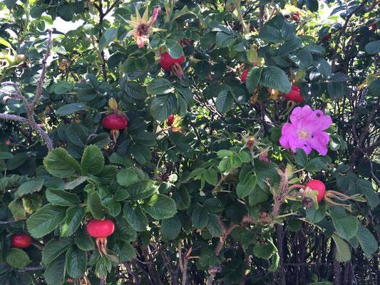 Apfelrosen mit Hagebutten