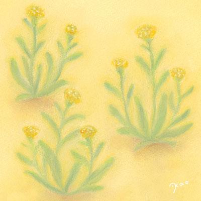 母子草(植物シリーズ)