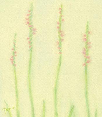 ネジバナ(植物シリーズ)