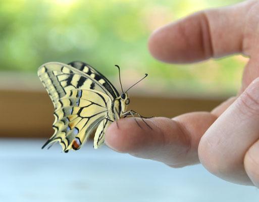 Im Gepäck sind auch lebende Schmetterlinge. Die Schülerinnen und Schüler lernen, wie man mit ihnen umgehen muss.