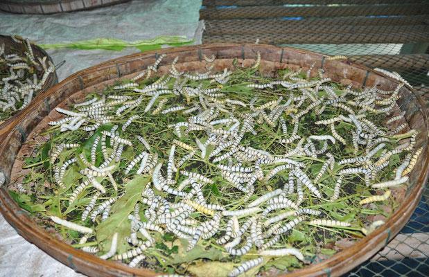 Ganz ohne Flugzeug machen wir einen Kurztrip nach Thailand und besuchen eine Seidenraupen-Farm.