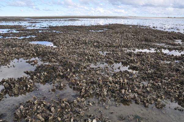 Es ist die Pazifische Auster. Sie bildet ganze Austern-Riffe.