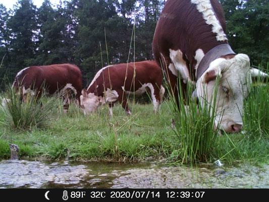 3 Rinder