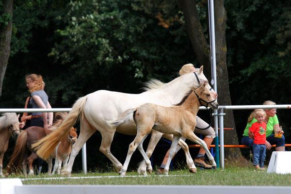 Fohlenschau und Eintragung Ponyverband Hannover