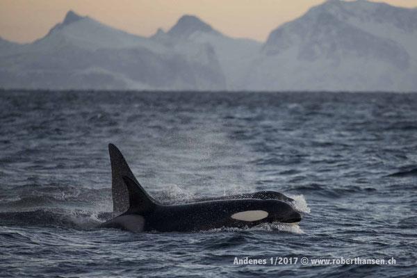 Orca vor Bergkulisse des Festlandes - 1/2017 © Robert Hansen