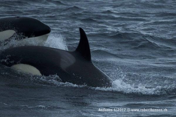 Orcas  auf Beutezug - 1/2017 © Robert Hansen