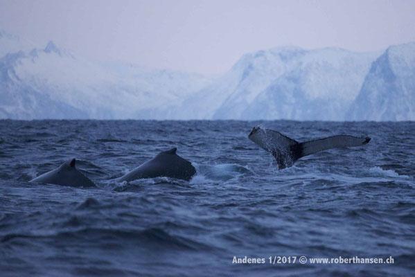 Drei Buckelwale tauchen ab - 1/2017 © Robert Hansen