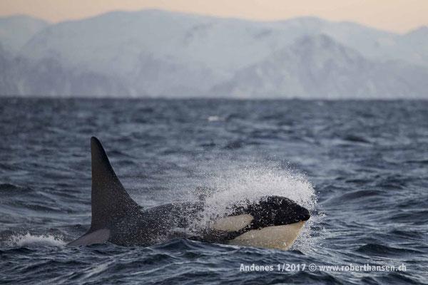 Orca schiesst aus der Welle - 1/2017 © Robert Hansen