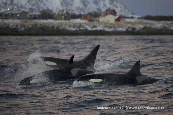 Eine Gruppe von Orcas nahe dem Ufer auf Heringfang - 1/2017 © Robert Hansen