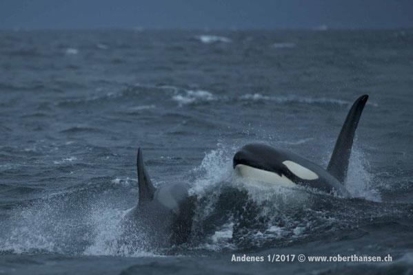 Orcas im Andfjord - 1/2017 © Robert Hansen