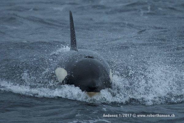 Orca!  - 1/2017 © Robert Hansen