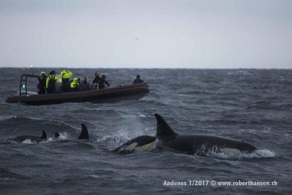 Walbeobachtung mit Touristen - 1/2017 © Robert Hansen