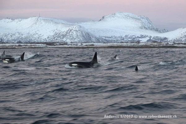 Eine Gruppe Orcas in der Nähe der Küste - 1/2017 © Robert Hansen
