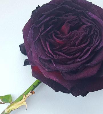 Liebe: Der diesjährigen Rose vom Sant Jordi beim Verwelken zusehen...