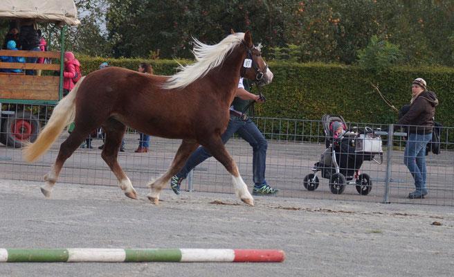 Maxi, Reservesiegerin Altersklasse 2-jg. Verbandspferdeschau Laupheim 13.10.16