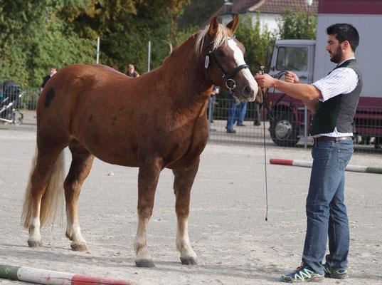 Mila, Klassensieger 2-jg. Verbandspferdeschau Laupheim 13.10.16