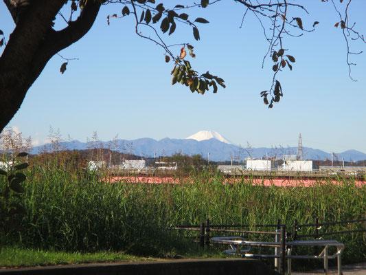 平成30年11月23日 朝 ホスピア玉川 玄関前より 初冬の桜と富士山