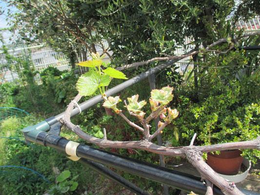 平成31年4月18日 撮影  春の日差しを浴びて、若芽が芽吹きました