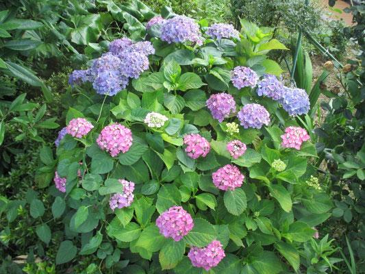 令和元年6月17日 4階にて撮影 ひとつの株から色とりどりの花が咲いています