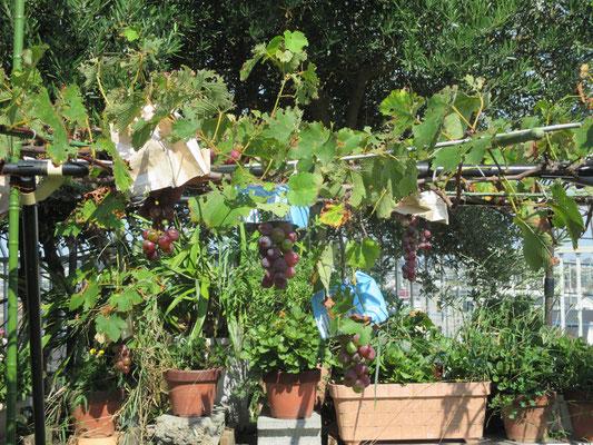 令和元年8月29日 撮影  じつは早く色づいた葡萄をみんなで食べてしまいました 香り豊かな甘酸っぱい葡萄に皆も笑顔でした
