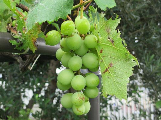 令和元年7月17日 撮影  袋をかぶせなかった葡萄の房です。実もずいぶん大きくなりました