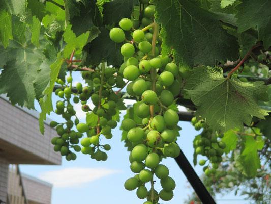 令和元年6月17日 撮影  青い実がたくさんふくらんできて、葡萄らしくなってきました