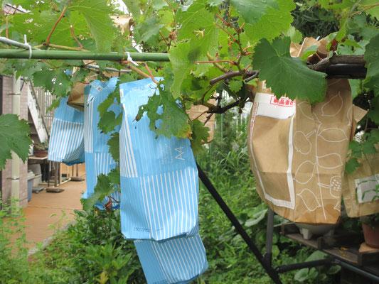 令和元年7月17日 撮影  半分くらいの実に手作りの袋をかぶせました