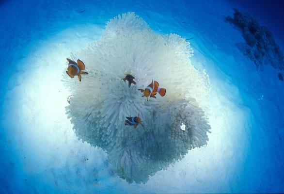 地球の海フォトコンテスト2011  環境部門 準グランプリ 「純白」 広瀬 晴夫  ニコンF4 AFフィッシュアイニッコール16㍉F2,8D  ネクサスF4PRO  YS-50×2灯 f5,6 1/60秒 RVP  竹富島 -15㍍