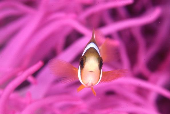 地球の海フォトコンテスト 2014 「ストップ!」 広瀬 晴夫  ニコンF4 105mmマクロ   ネクサスF4PRO  f16 1/60 YS-50×2 RVP 水深15m  撮影地:石垣島