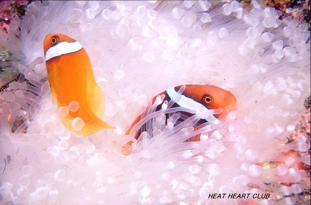 地球の海フォトコンテスト2016  地球環境部門 3位 「エルニーニョ」 広瀬 晴夫  ニコンF4 AFニッコール28~70㍉  ネクサスF4PRO  YS-50 f8 1/60秒 RVP  石垣島 -5㍍