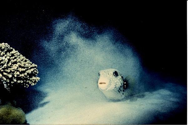 第24回マリンダイビング水中写真コンテスト  佳作  「煙幕」 広瀬 晴夫  ニコノスⅣ UW28mm f8   1/60 SB-102 RVP 水深12m  撮影場所:ケラマ西浜
