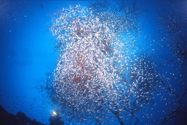 地球の海フォトコンテスト2012  自由部門 入選 「満開」 広瀬 晴夫 ニコンF4 16mmフィッシュアイ   水深30m  撮影地:石垣島