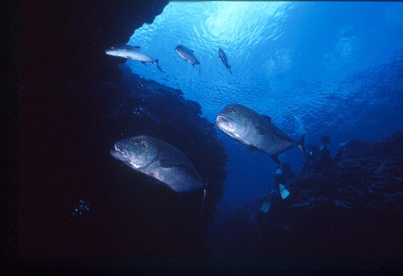 地球の海フォトコンテスト2014  自由部門 入選 「ハンター」 広瀬 晴夫  ニコノスⅤ UW15mm   水深12m  撮影地:石垣島