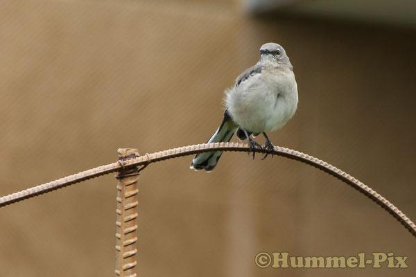 Der Mockingbird (Spottdrossel) ist der Staatsvogel von Tennessee
