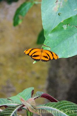 Schmetterling im Tennessee-Aquarium