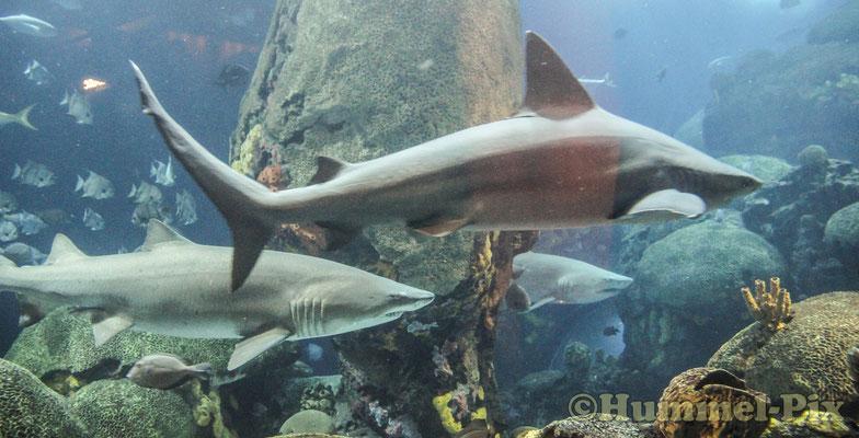 Sehr beeindruckend, dass Revolvergebiss eines Haies aus der Nähe zu betrachten!