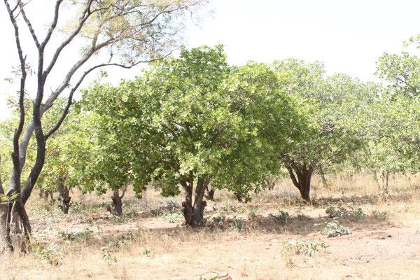 Mango-Bäume