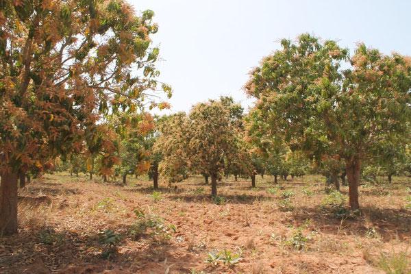 Mangofeld