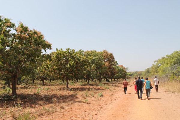 Mango-Feld