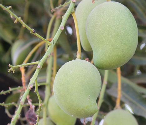 Halbreife Mango