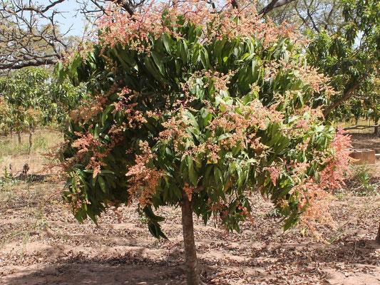 Mango-Baum in der Blüte