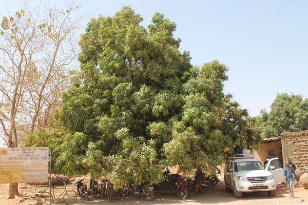 Traditioneller Mangobaum - nicht für den Export geeignet