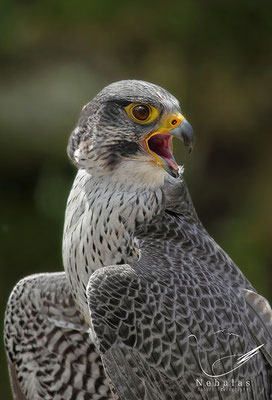 Gerfalke (Falco rusticolus) - Foto: MIchael Milfeit